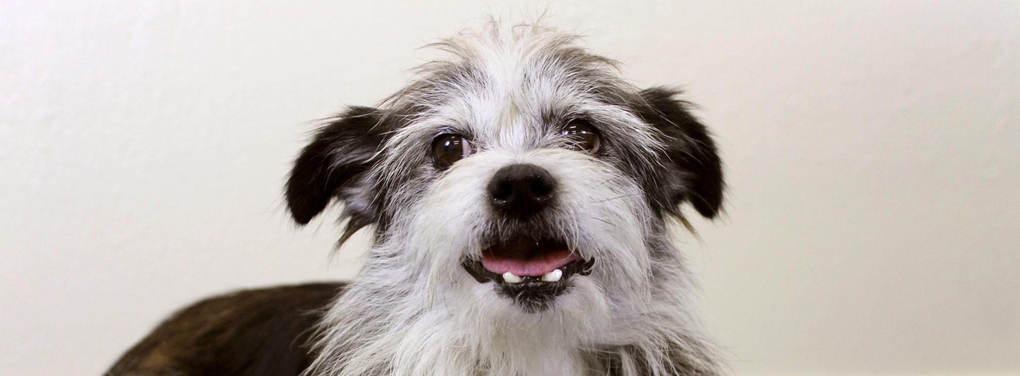 fluffy black and white dog smiling