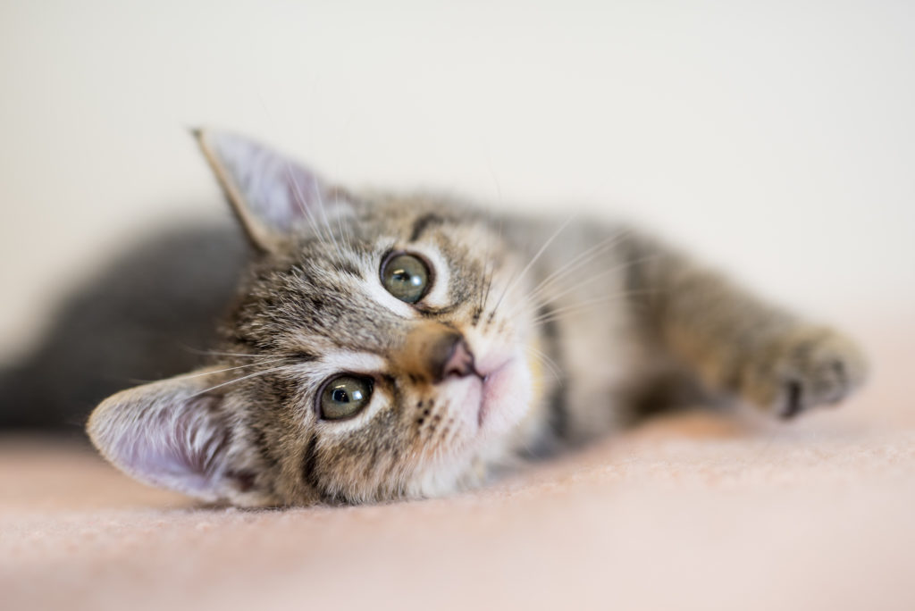 adorable gray tabby kitten laying on side