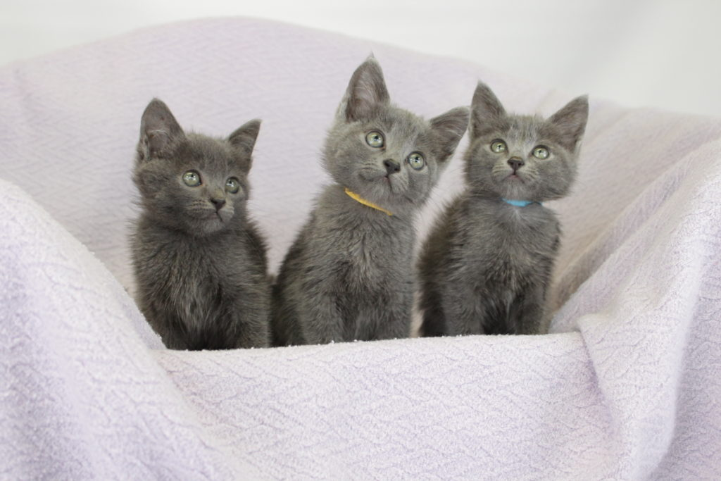 three gray kittens sitting next to each other