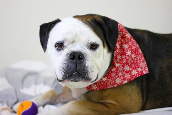 Photo of Odin dog with ball toy, wearing red bandana