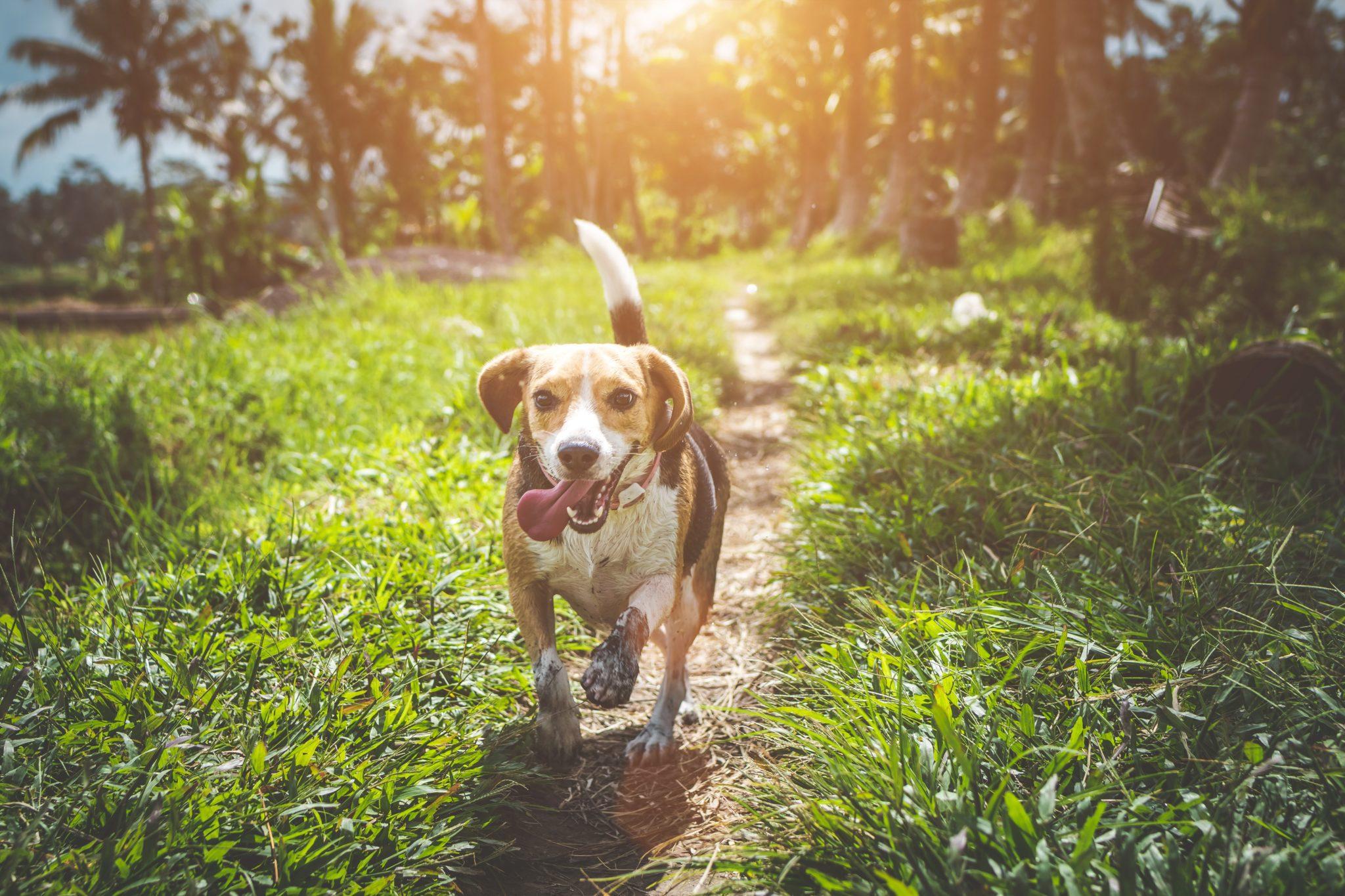 dog running towards
