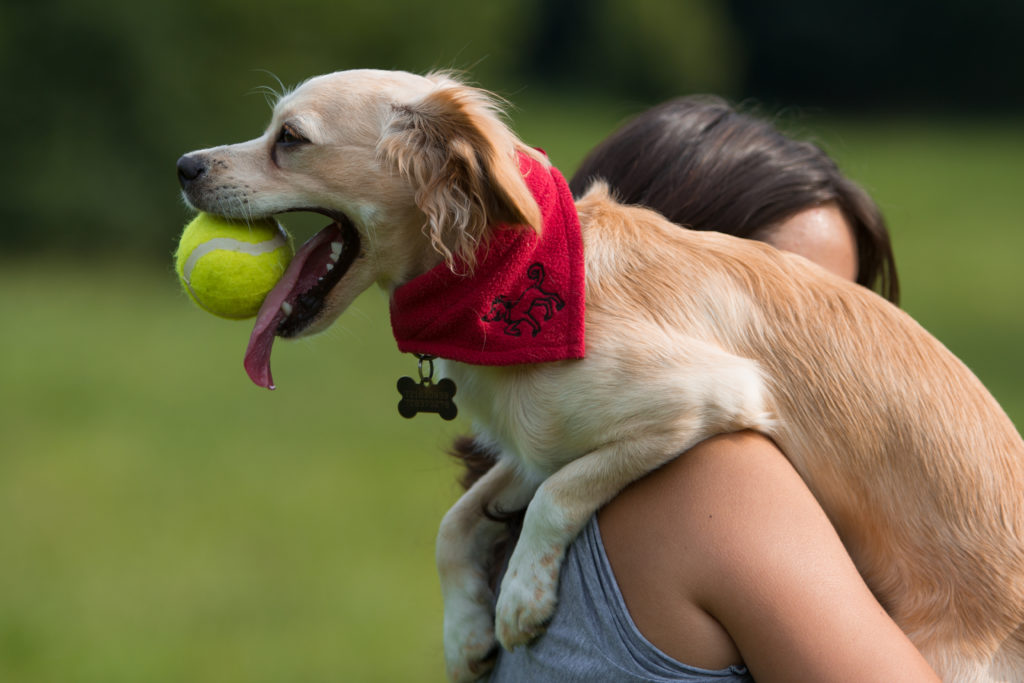 tan dog with tennis ball in mouth being carried over woman's shoulder