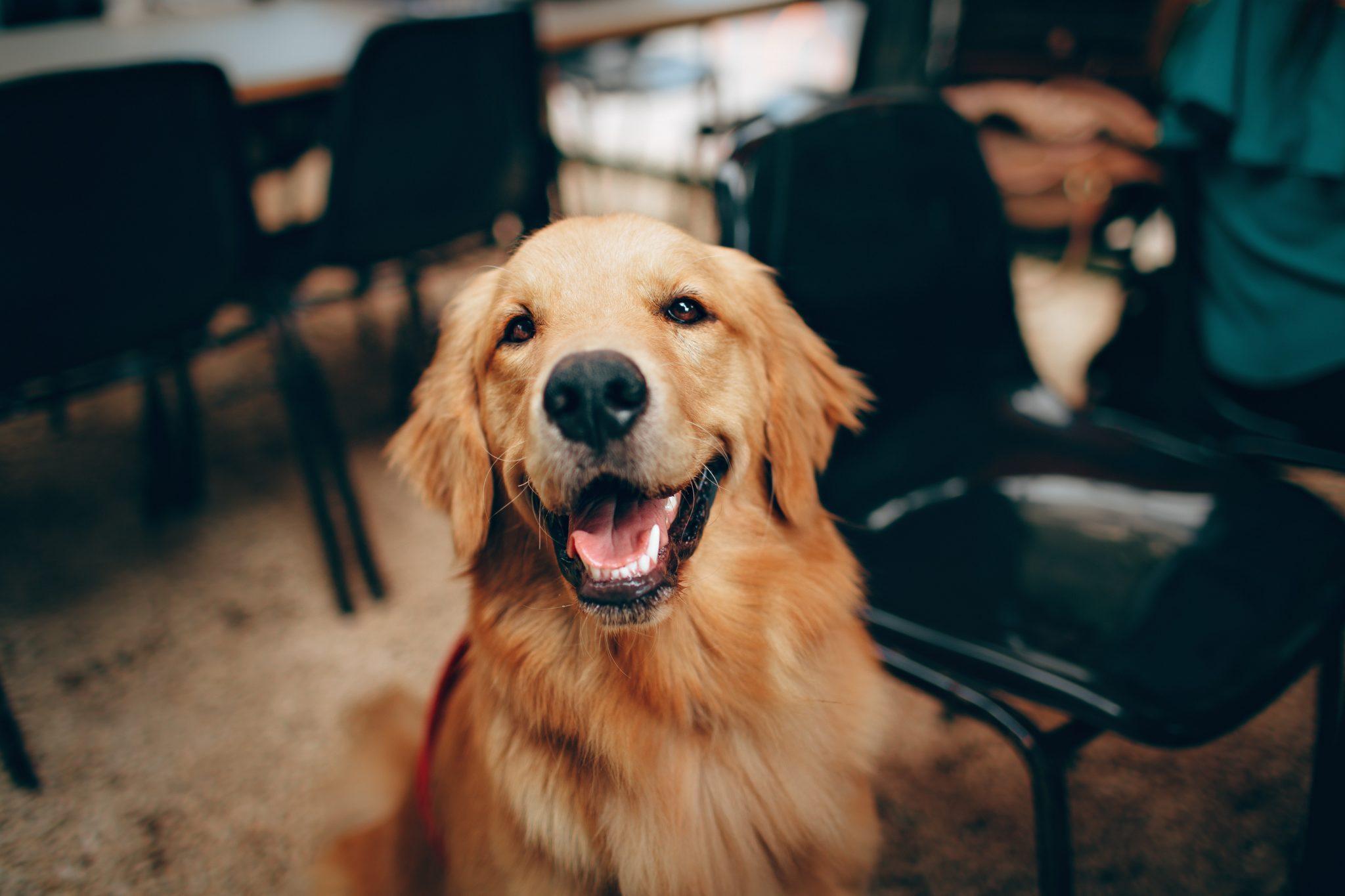 dog smiling indoors